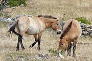 Przewalski's Horse Photo: Yvan CC BY-NC-SA 2.0