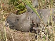 Greater One-horned Rhinoceros Photo: Sugoto Roy