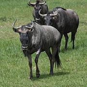 Wildebeest Photo: Brent Huffman / UltimateUngulate