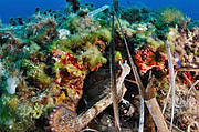 Mediterranean Octopus. Photo: Pierre-Yves Cousteau