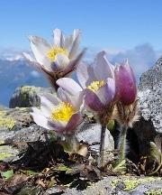 Pulsatilla vernalis. Photo: Apollonio Tottoli CC BY-NC-ND 2.0