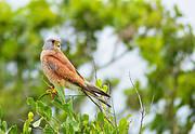 Lesser Kestrel (Falco naumanni). Photo: BernardDupont (Flickr, CC BY-SA 2.0)