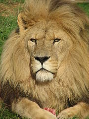 Lion (Panthera leo) Photo: Craig Hilton-Taylor