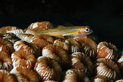 Peppermint Goby (Coryphopterus lipernes) Photo: Laszlo Ilyes