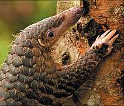 Malayan Pangolin (Manis javanica) 2008 IUCN Red List of Threatened Species status: Endangered Photo: Bjorn Olesen