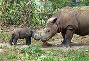 Sumatran Rhino mother and calf. Photo: Susie Ellis