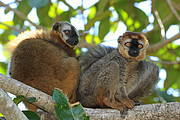 The Vulnerable Rufous-fronted brown lemur (Eulemur rufifrons) is another SOS Lemur species. Photo: Russ Mittermeier