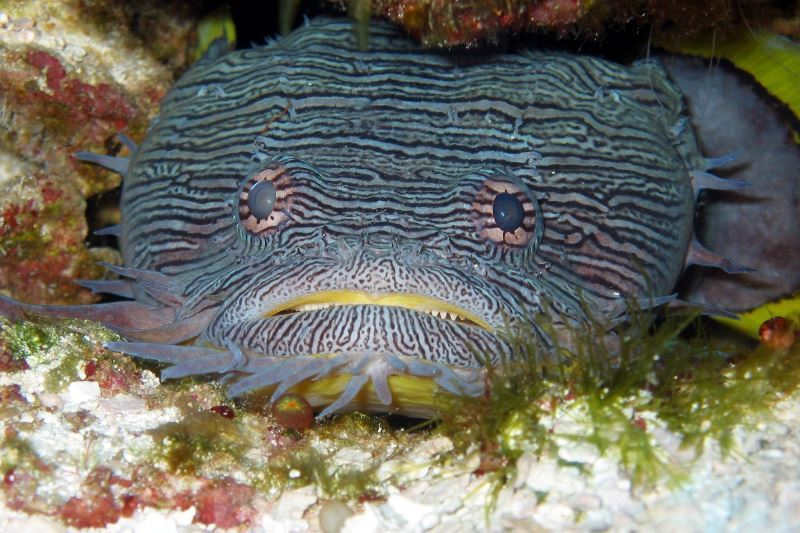 Splendid Toadfish (Sanopus splendidus) - Endangered. Photo: Randall McNeely