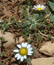 Atlas Daisy (Anacyclus pyrethrum) - Vulnerable. Photo: Hassan Rankou