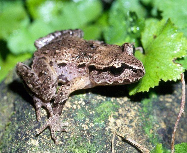 Hamiltons Frog (Leiopelma hamiltoni) - Vulnerable. Photo: Paddy Ryan