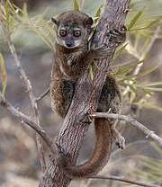 Northern sportive lemur. Photo: Edward E.Louis Jr
