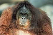 Sumatran orangutan. Photo: Russell A. Mittermeier