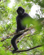Hainan gibbon. Photo: Zhao Chao