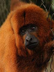 Northern brown howler monkey. Photo: Russell A. Mittermeier