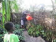 A monitor watering coconut seedlings in the nurseries. Photo: Augustine Sesay