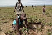 Planting out coconut seedlings to help mitigate coastal erosion. Photo: Edward Aruna