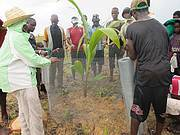 Fencing newly planted coconut seedling. Photo: Augustine Sesay