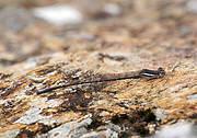 Rock Threadtail (Elattoneura lapidaria). Photo: Ulf Bjelke