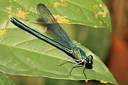 Robust Sparklewing (Umma gumma) male. Photo: Jens Kipping
