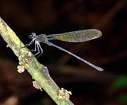 Black Relic (Pentaphlebia mangana) male. Photo: Nico Mzire