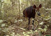 Okapi in DRC Virunga NP. Photo: ZSL
