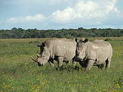Numbers of the more numerous White Rhino appear to have levelled off. Photo: © Richard Emslie