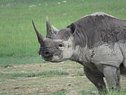 The Black Rhino is listed as Critically Endangered on The IUCN Red List of Threatened Species™. Photo: © Richard Emslie