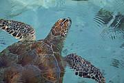 Sea turtle. Photo: © P. Meier