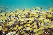 Fish frenzy. Photo: © M. Pittet