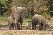 Elephants in the Ituri Forest have been decimated by poaching. Photo: Reto Kuster