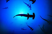 With hard work and some luck, Costa Rica may succeed in balancing development through sustainable fisheries with the needs of hammerhead sharks - giving space for this amazing species to thrive. Photo: PRETOMA
