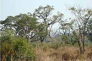 Chimbo Faroba Tree (Parkia biglobosa) with Chimpanzee nests in farm field. Photo: CHIMBO