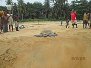 Olive ridley havingbeen released by monitors in Bassa Point. Photo: Anthony Peabody