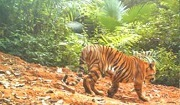 Individual tiger captured by camera trap / WCS