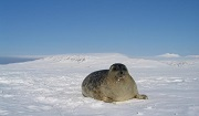 Ringed Seal in May 2003 © Kit M. Kovacs/Christian Lydersen