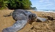 Leatherback Turtle Trinidad © Brian J. Hutchinson