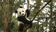 Giant Panda. Vulnerable. Photo: Martha de Jong-Lantink.