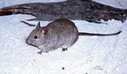 Greater Stick-nest Rat. Near Threatened. Photo: Hj Aslin.