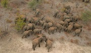 Counting Kruger elephant herd. Photo: Ian Whyte