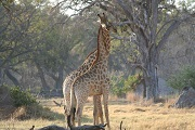 The giraffe (Giraffa camelopardalis) is now threatened with extinction.Photo: IUCN Photo Library © Alicia Wirz