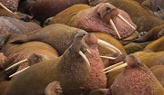 The Pacific walrus, classed as Vulnerable on the IUCN Red List. Photo: © Maksim Antipin, Beringia National Park