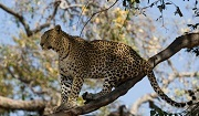 Leopard (Panthera pardus), listed as Vulnerable on the IUCN Red List. Photo: © Patrick Meier II
