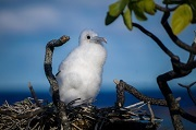A total of nineteen species of resident seabird are expected to benefit from the project. Juvenile Red-footed Booby photo © Caroline Blanvillain / SOP Manu