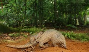 The Sunda pangolin (Manis javanica) lives in Southeast Asia, and is classified as Critically Endangered on the IUCN Red List. Photo: Wildlife Reserves Singapore.