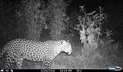 Photo: WCS India surveys of tea plantations reveal presence of a number of species including leopards © Varun Goswami & Divya Vasude