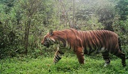 Photo: Tiger on camera trap in Bhutan - DoFPS Bhutan