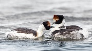 Hooded Grebe parents carry their young on their back © Living Wild in South America