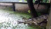 Female gharial (Padma) from Rajshahi Zoo is being released in Dhaka Zoo, 12 August 2017. Photo: ©Haseeb Md. Irfanullah/IUCN.