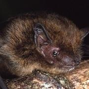 Pipistrellus murrayi. Lindy Lumsden.