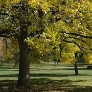 Fraxinus quadrangulata. Kris Bachtell/The Morton Arboretum.